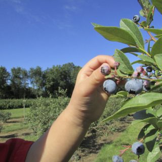 Berry Picking – An All-American Pastime