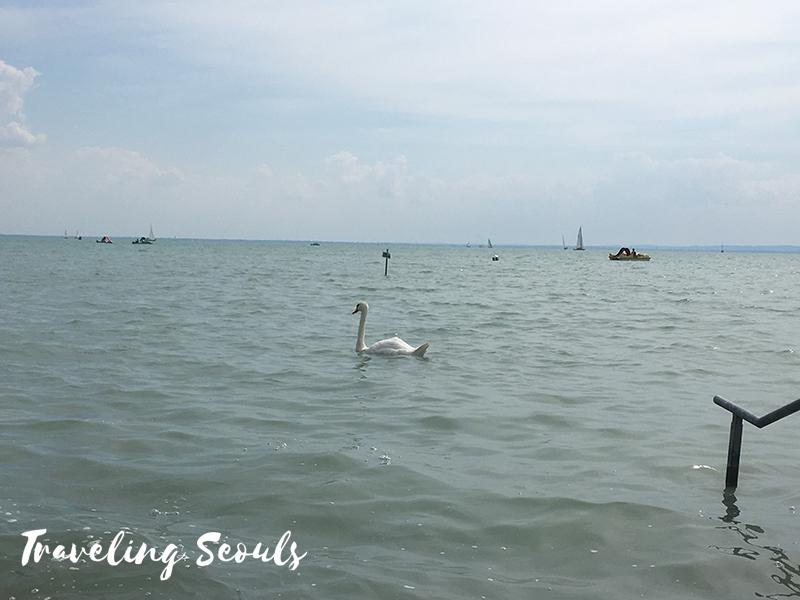 lake balaton budapest hungary swan